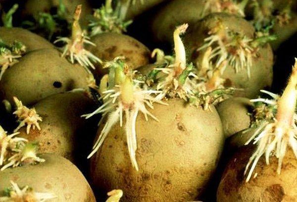 Глазки на семенной картошке