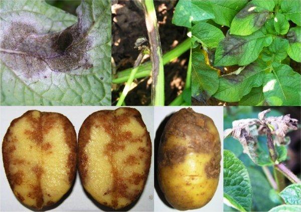 Признаки фитофторы у картофеля