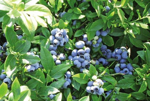 Фото плодов высокорослой голубики
