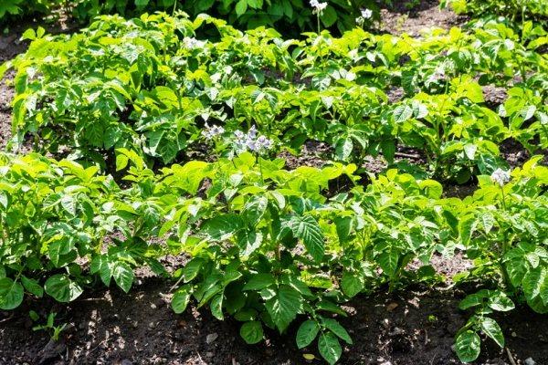 Подкормка картофеля через листья