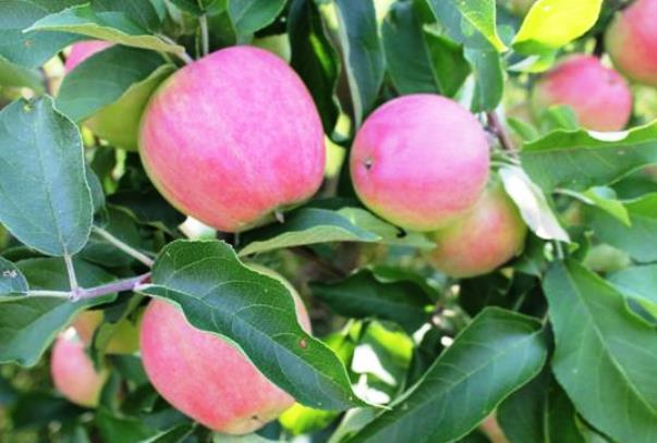 Зимние яблоки Орловский кандиль