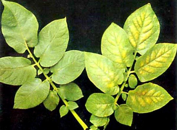 Влияние микроэлементов на развитие овощей