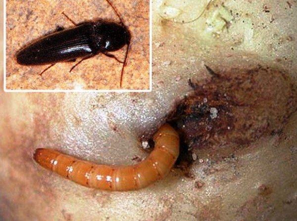 Как выглядит жук проволочник