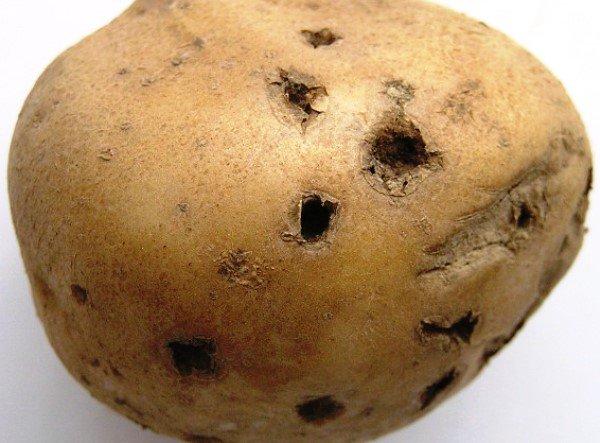 Как проволочник портит картошку