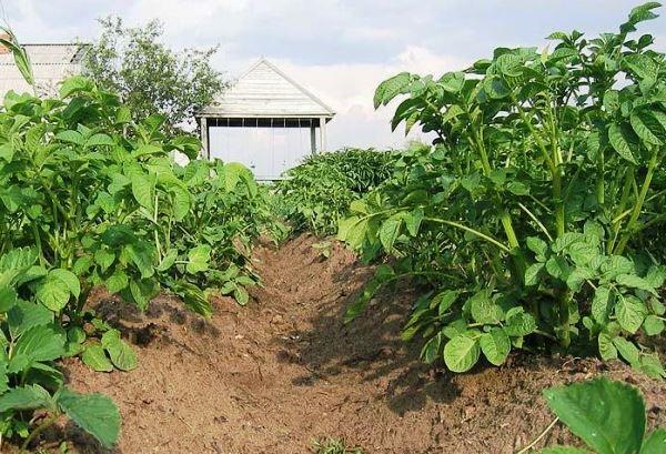 Борьба с картофельными сорняками
