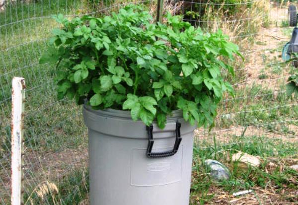 Технология выращивания картофеля в ящике или бочке