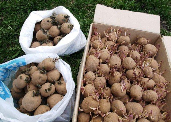 Сортировка картофеля для яровизации