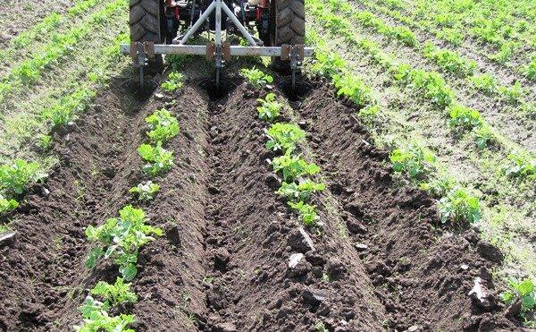 Окучивание картофельного поля трактором