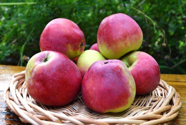 Зрелые яблоки Орловский кандиль