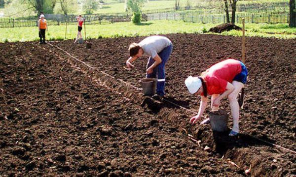 Посадка картошки по шнуру