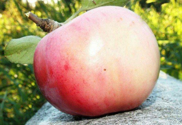 Хороший осенний сорт яблок