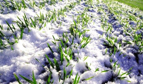 Зерновые культуры как сидерат