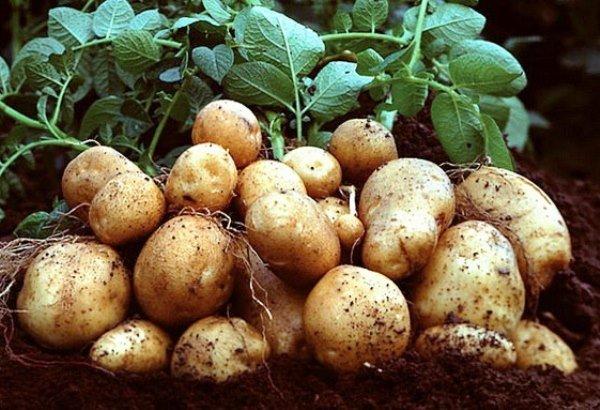Внекорневая подкормка картофеля для хорошего урожая