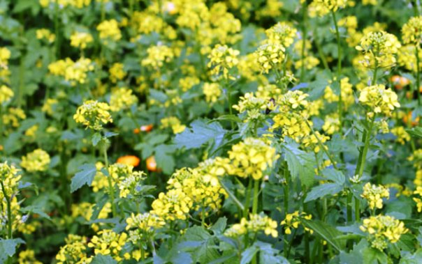 Растения-однолетки в качестве удобрения
