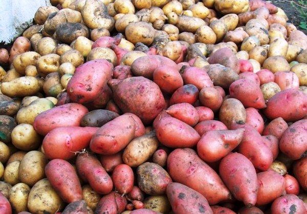 Устойчивые к парше сорт картошки