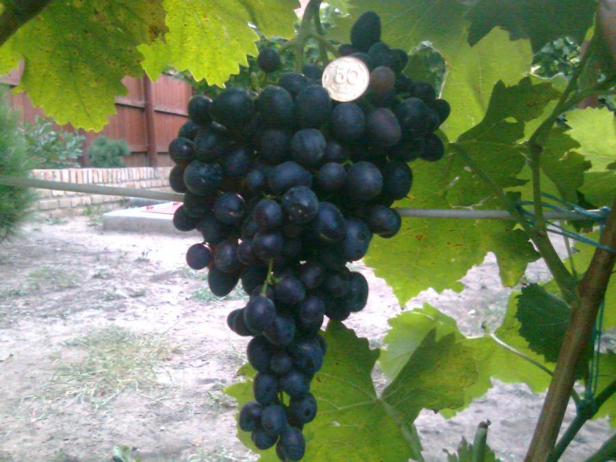 Сорт винограда Черный палец