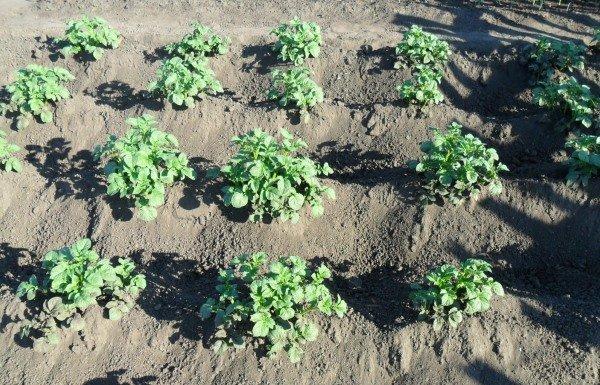 Картофельные кусты на огороде