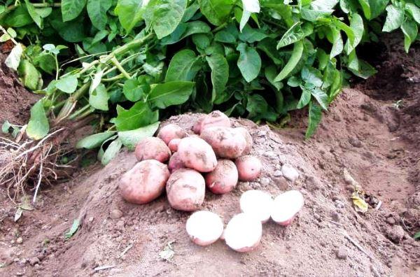 Уборка картофеля на огороде