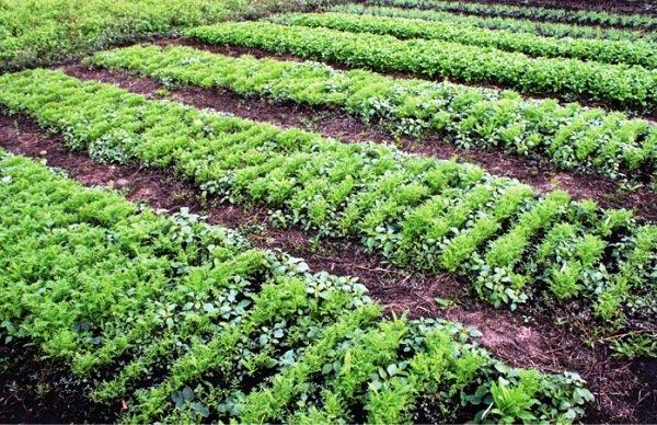 Сидераты для овощных культур