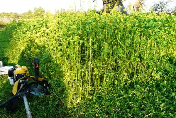 Зачем нужно сеять сидераты