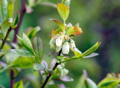 Американская голубика Блюкроп во время цветения