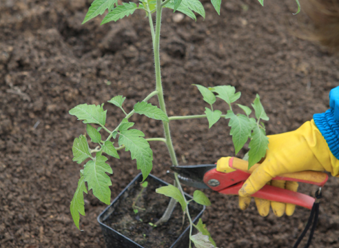 Обрезка нижних листьев рассады томатов