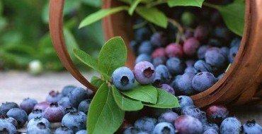 Фото урожая садовой голубики
