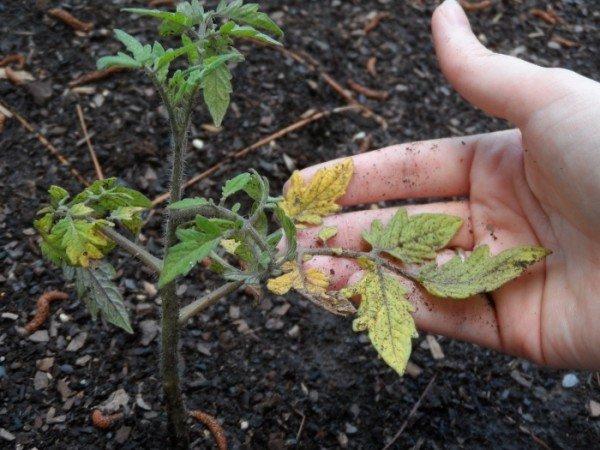 Пожелтевшие листья на рассаде помидора