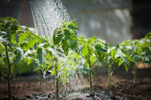 Полив водой рассады помидор