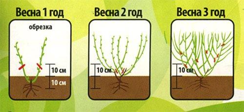 Схема обрезки садовой голубики