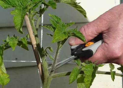 Обрезка листьев томата секатором