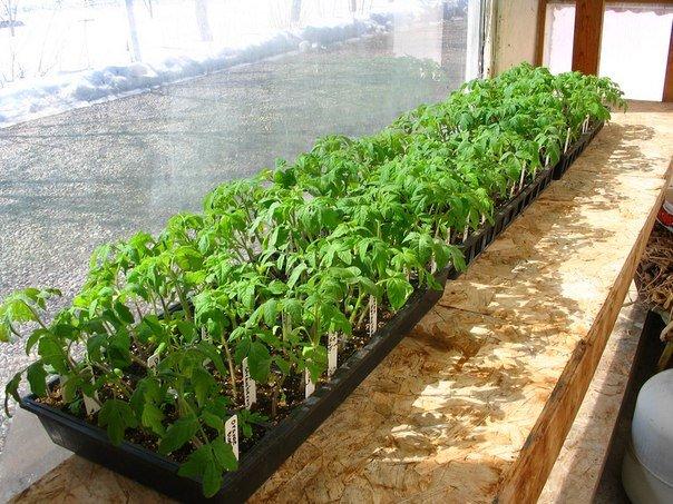 Близко посаженные ростки помидор