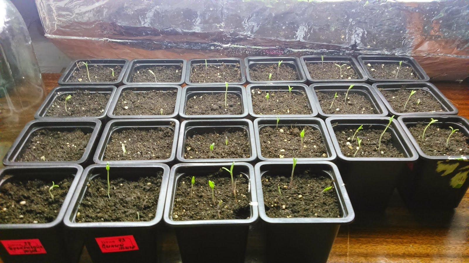 Первые всходы рассады томатов