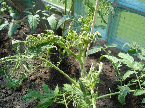 Скрученные листья на томате