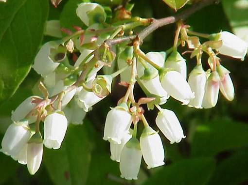 Фото цветения садовой голубики