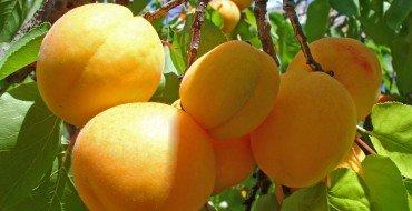 Абрикосовое дерево с плодами