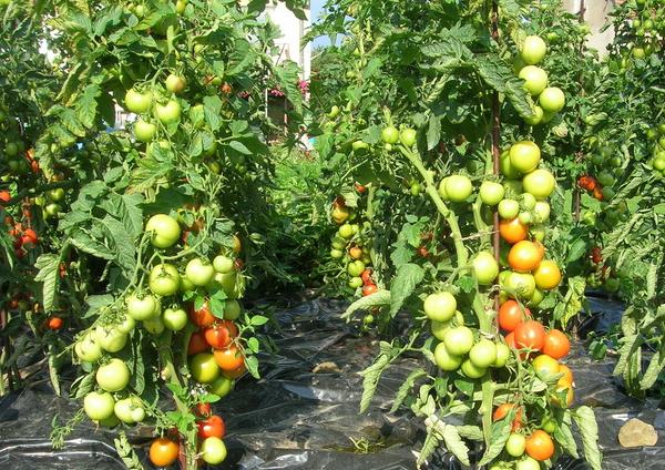 Супердетерминантный сорт помидор (томатов)