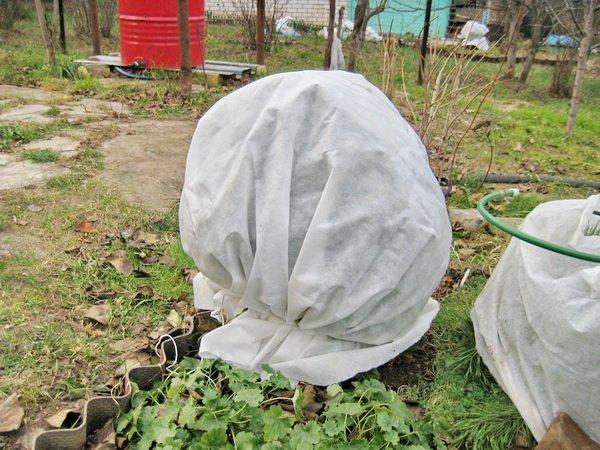 Укрытие садовой голубики на зиму