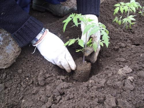 Посадка в грунт рассады помидоров