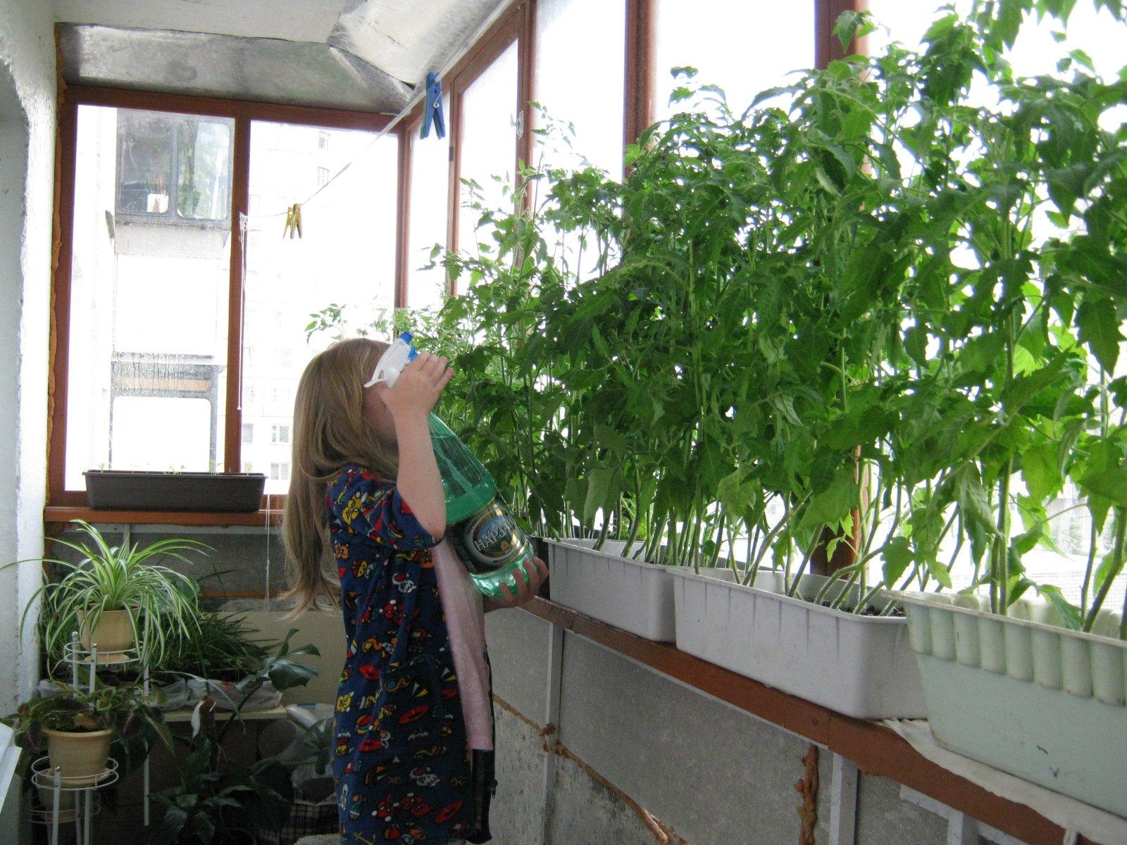 Девушка опрыскивает рассаду помидор