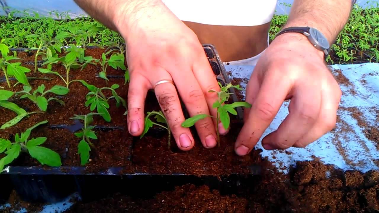 Пикировка рассады помидор (томатов)
