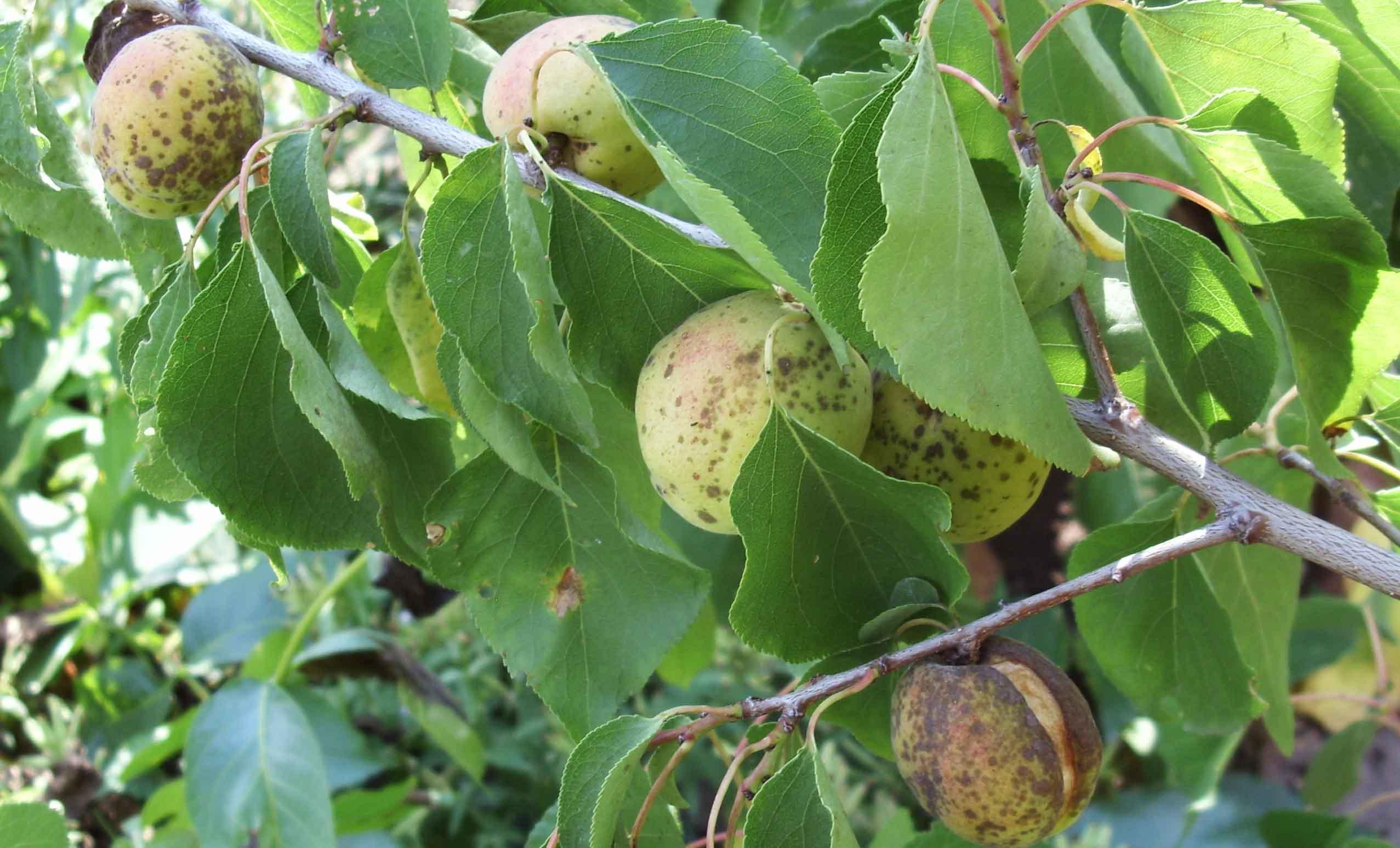 Плоды абрикоса, зараженные монилезом