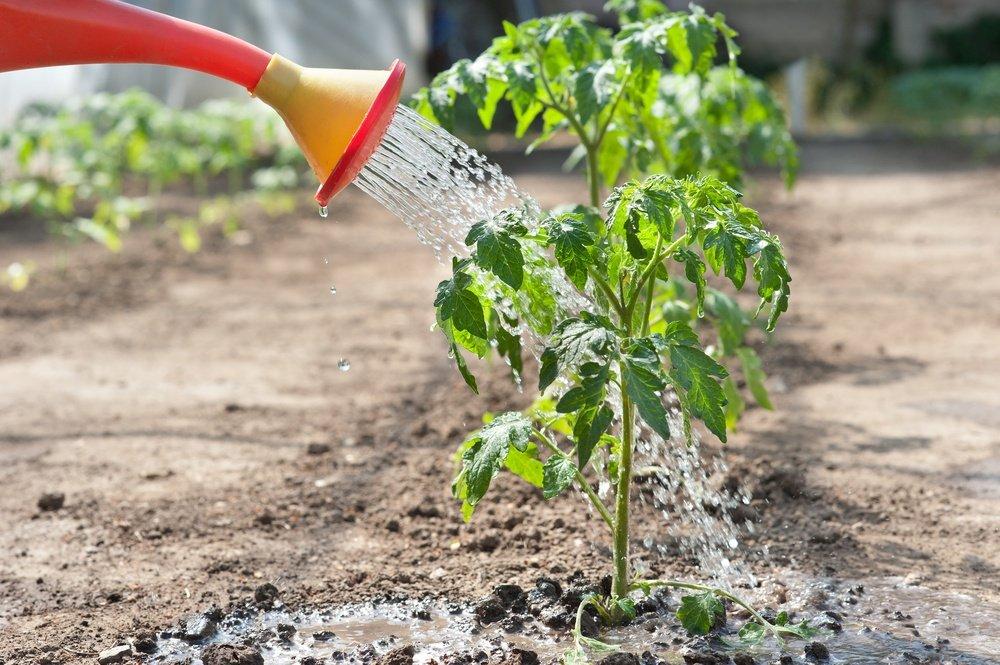 Полив помидоров водой из лейки