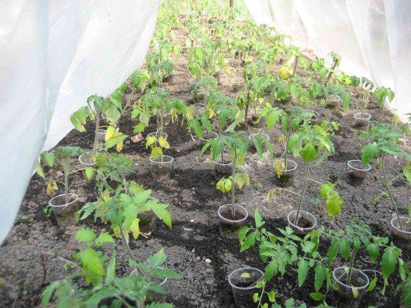 Пожелтевшие листья томатов в теплице