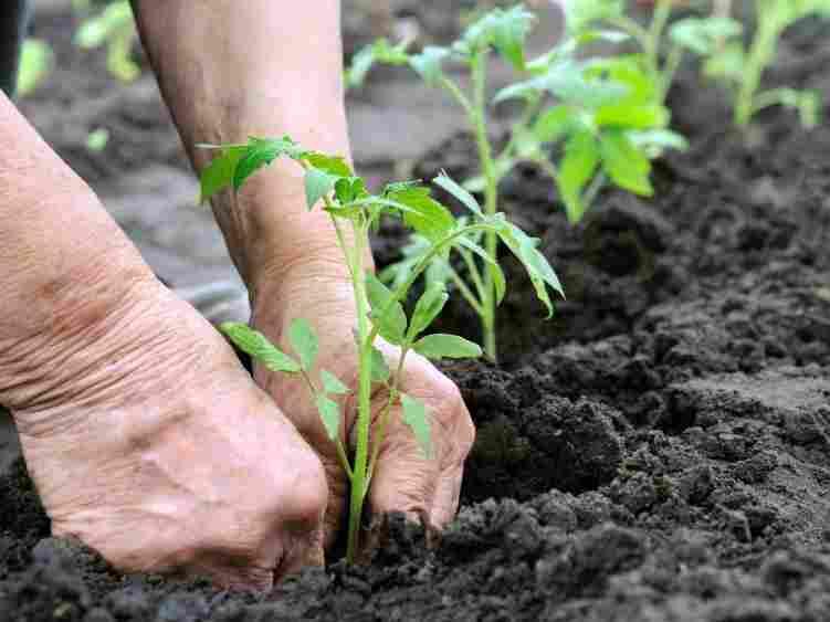 Пикировка томатов в подготовленную почву