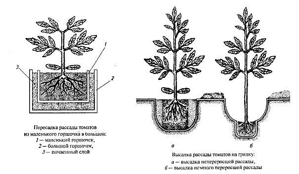Схема пересадки рассады томатов