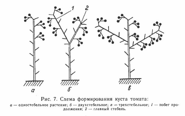 Схема формирования куста помидора
