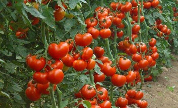 Фото плодов помидоров индетерминантного сорта