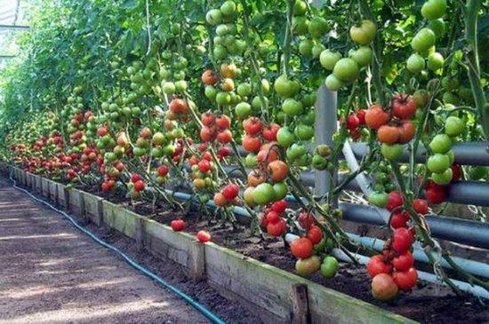 Фото взрослых кустов томатов