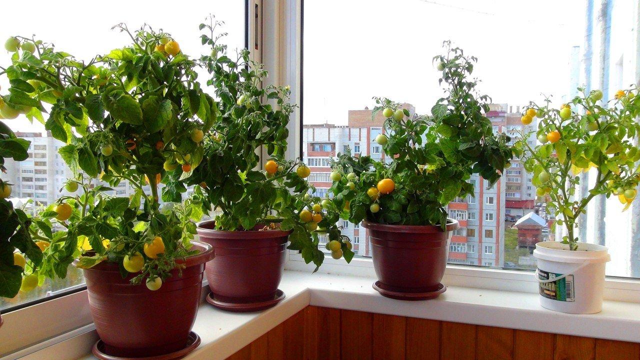Фото желтых томатов на лоджии